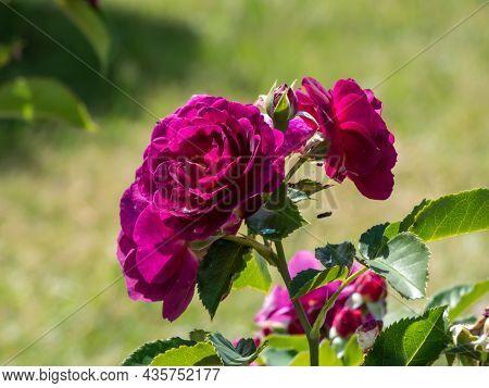 Beautiful, Unique Purple Rose Variety 'purple Eden' - Flowers Are Mauve, Deep Violet With Velvet Pet