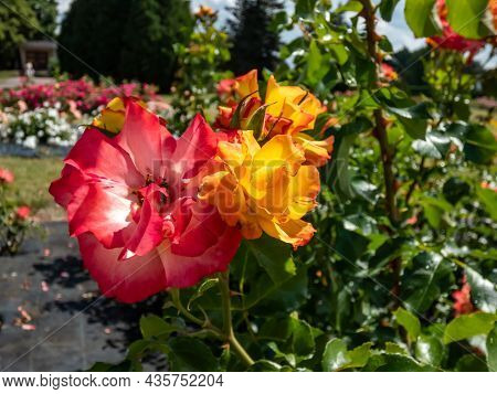 Beautiful Rose Bonanza. Yellow And White Rose Flower With Orange Edges, Fading To Pink With Garden B
