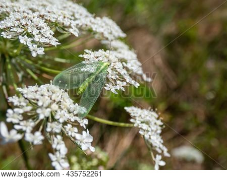 Macro Shot Of Small, Delicate Insect Green Lacewing (common Lacewing) Feeding On Pollen And Nectar O