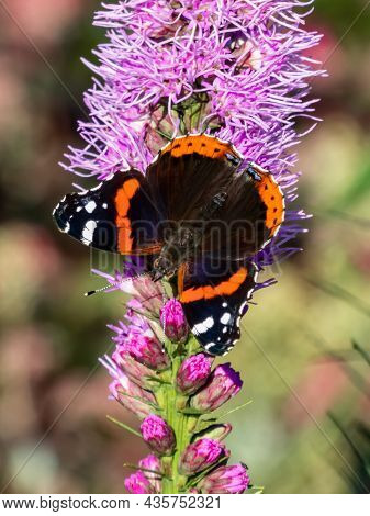 Dorsal View Of Medium Sized Butterly The Red Admiral (vanessa Atalanta) With Black Wings, Red Bands,