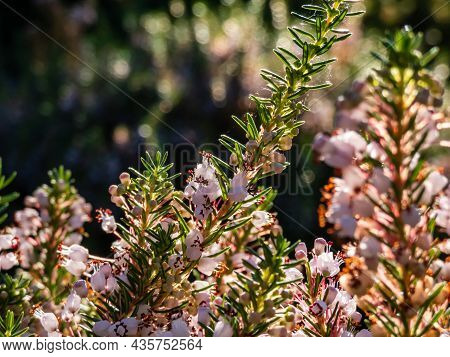 Macro Of Beautiful Bell-shaped, White, Pink And Red-purple Flowers Of Cornish Heath Or Wandering Hea
