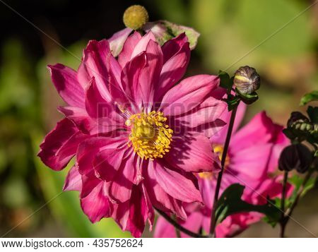 Beautiful And Attractive Shot Of Large, Semi-double, Rose Pink Flowers With Golden-yellow Stamens Of
