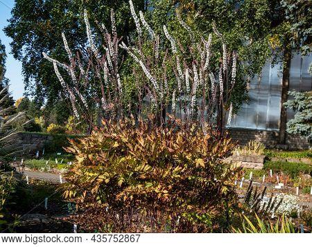 Bugbane (cimicifuga Simplex) 'atropurpurea' Plant With Brown-purple Stems And Foliage Blooming With