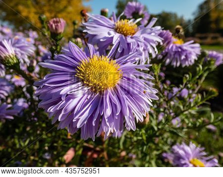 Group Of Large, Powder Puff Blue Daisy-like Flowers With Yellow Eyes Michaelmas Daisy Or New York As