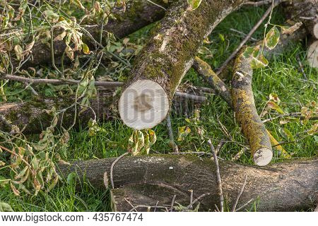 A Tree Sawn With A Chainsaw On The Grass. Elimination Of The Consequences Of The Storm. Trunk, Logs,