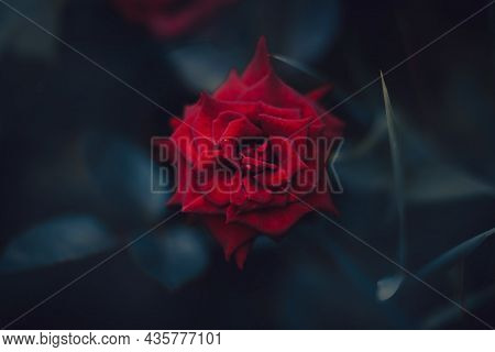 A Scarlet Beautiful Fragrant Rose Blooms Among Dark Leaves In The Night Twilight Of Summer. Nature A