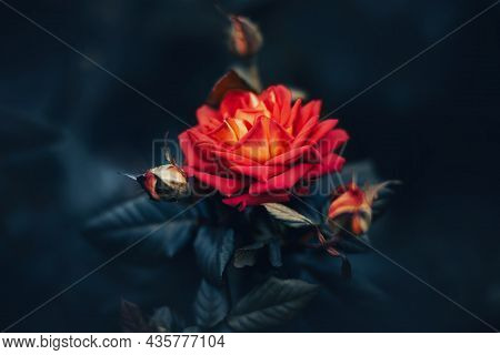 A Beautiful Red Rose Blooms Among The Buds And Dark Leaves In The Evening Twilight Of Summer. Nature