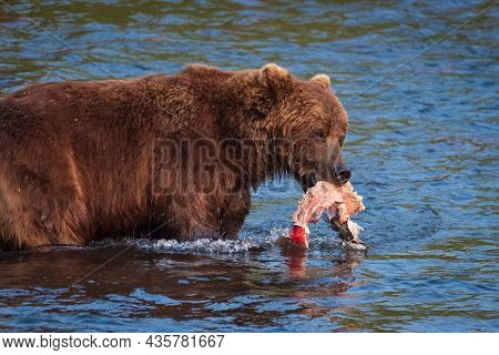 Kamchatka, A Big Bear Caught A Sockeye Fish In The Lake.