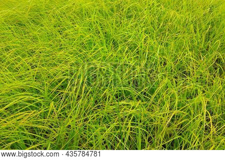 Texture Of Young Green Grass, Background, Texture
