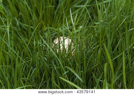 Egg In A Thick Lush Green Grass