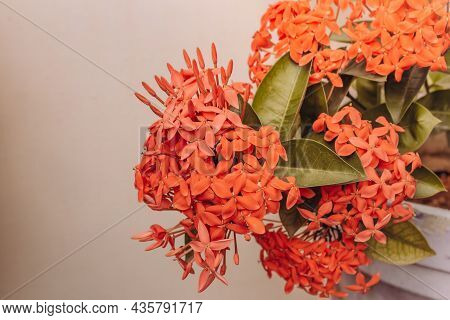 Beautiful View Of Ixora Coccinea Flowering Plant. Also Known As Jungle Geranium, Flame Of The Woods
