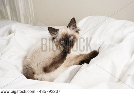 A Small Beige Colored Ragdoll Baby Kitten Cat On White Sheets Looking Into The Camera And Licking Hi