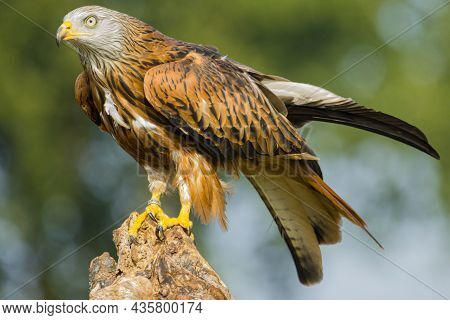 Portrait Of A Red Kite Which Is Just Folding It's Wings
