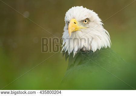 The Shark Eyes Of A Bald Eagle Is Watching It's Environment. The Bird Of Prey Is Slightly Obscured B