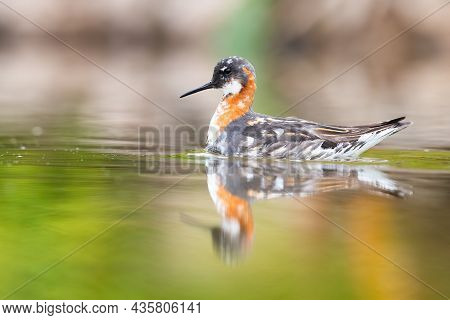 Red-necked Phalarope Swimming In Wetland In Spring