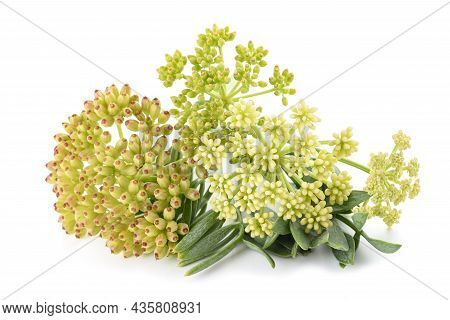 Rock Samphire Isolated On A White Background