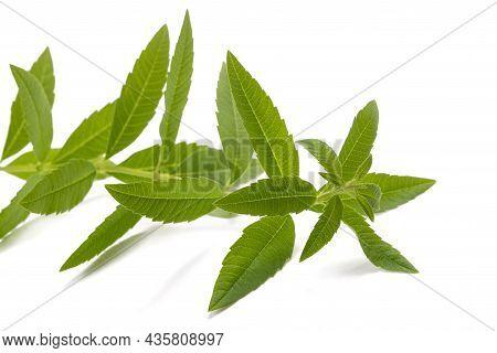 Lemon Verbena Plant Isolated On White Background
