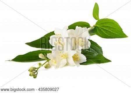 English Dogwood Flowers Isolated On  White Background