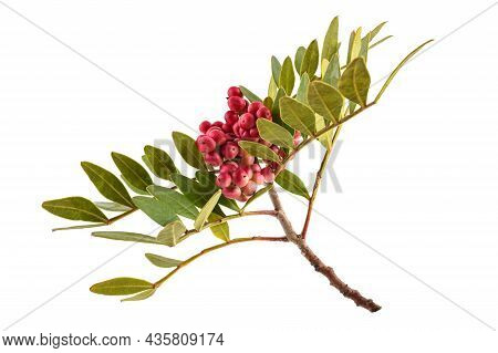 Mastic Tree With Red Berries  Isolated On White Background