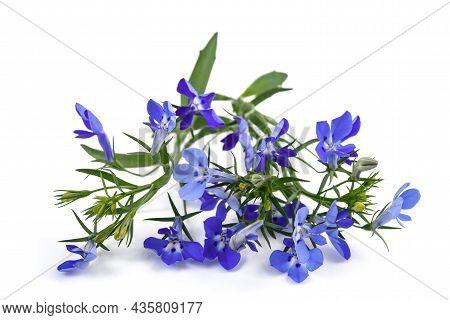 Blue Lobelia Flowers Isolated On White Background.