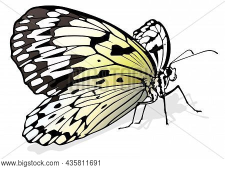 Paper Kite Butterfly - Beautiful Butterfly Idea Leuconoe Isolated On White Background, Vector Illust