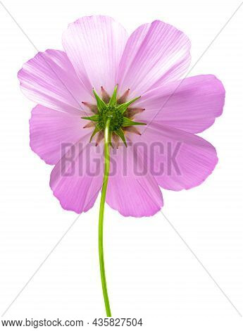 Cosmos Flower Isolated On White Background. Pink Cosmos. Clipping Path.