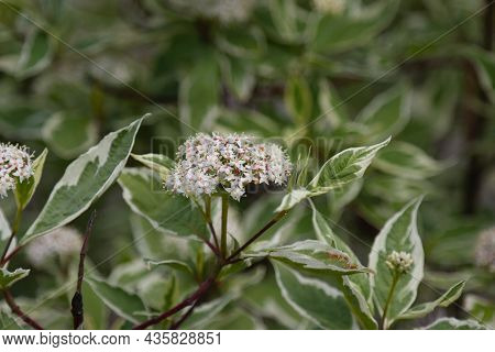 Ornamental Shrub Derain White Elegantissima Or Cornus Alba.
