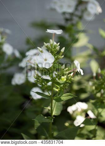 A Few White Phlox Flowers, A Close-up Shot.