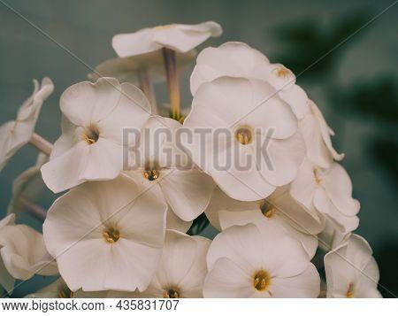 A Few White Phlox Flowers, A Macro Photograph. White Flowers Close-up.