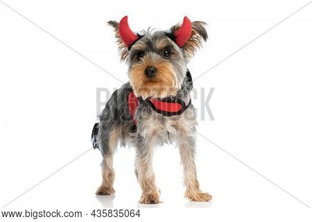 cute little yorkshire terrier dog wearing devil horns and red jacket, looking up and side and standing isolated on white background in studio