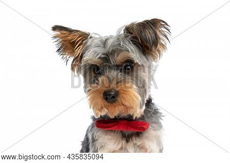 elegant little yorkshire terrier puppy wearing red bowtie and looking away while sitting isolated on white background in studio