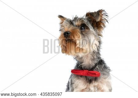 curious elegant yorkshire terrier puppy looking to side and up and sitting isolated while wearing red bowtie around neck in studio