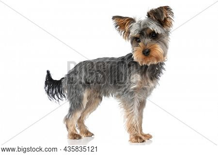 side view of cute little yorkie pup looking to side and standing isolated on white background in studio