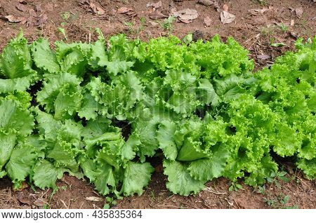 Lettuce In Vegetable And Fruit Planting Site, Summer Vegetable Planting, For Sale, On Land Without F