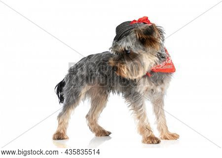precious little yorkshire terrier puppy wearing red bandana and hat and looking to side while standing in a side view position on white background in studio