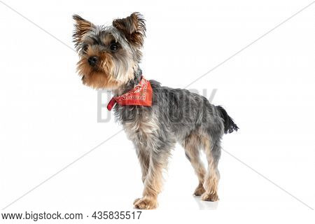 curious little yorkshire terrier dog with red bandana looking away and standing isolated on white background in studio
