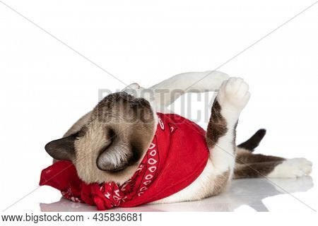 playful little kitty with red bandana rolling back and playing with legs in the air on white background in studio