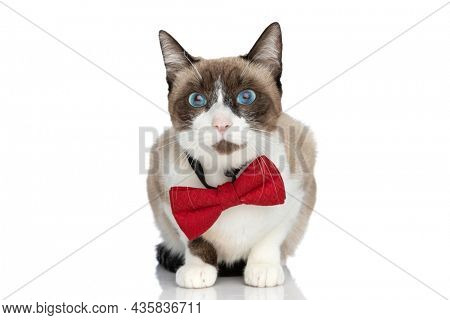 lovely little metis kitty with blue eyes wearing red bowtie and sitting isolated on white background in studio