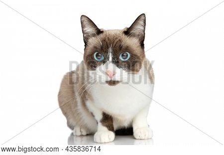 cute small metis kitty with blue eyes sitting isolated on white background in studio