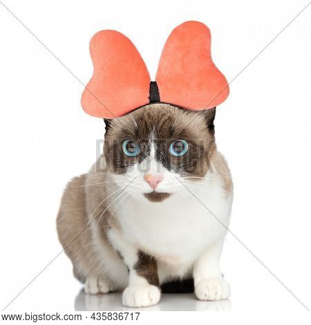 adorable little metis kitty wearing lovely bow headband and sitting isolated on white background in studio