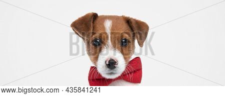 landscape of a sweet jack russell terrier dog wearing a red bowtie against gray background