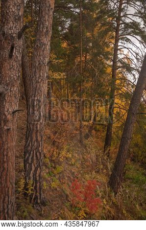 Autumn scenery. Beautiful gold fall in forest. Beautiful scene with birches in yellow autumn birch forest in october among other birches in birch grove