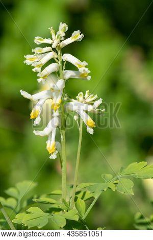 Pale Corydalis (pseudofumaria Alba) Flowers