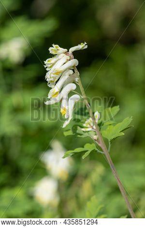 Close Up Of Pale Corydalis (pseudofumaria Alba) Flowers In Bloom