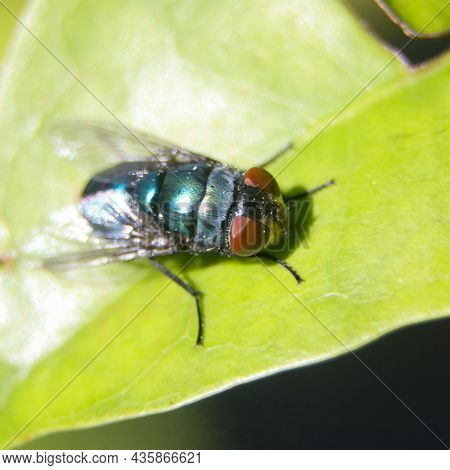 Macro Shot Of A Common Oriental Latrine Fly With A Green-blue Metallic Colored Body With Red Eyes Si