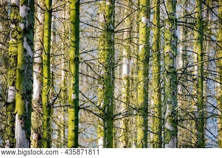 Spruce Trunks In A Mossy Forest, Bark Covered By Lichen, Czech Republic Highland, Europe