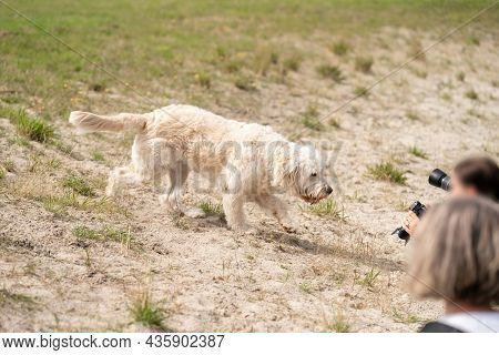Labradoodle Dog Walks Curiously Across The Sand To Some Blurred Photographers. The Camera Lenses Are