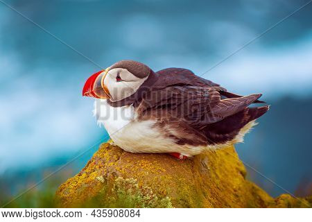 Single Atlantic Puffin Bird Standing On The Rock Over The Sea. Animal Outdoor Background