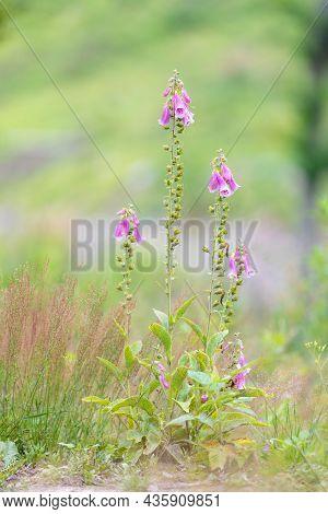 Wild Pink Flower Purple Foxgloves, Digitalis Purpurea, In Woodland, Czech Republic Wilderness