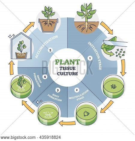 Plant Tissue Culture Process Stages With Cells Growth Steps Outline Diagram. Labeled Educational Tec